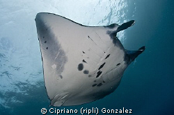 manta flying by Cipriano (ripli) Gonzalez 